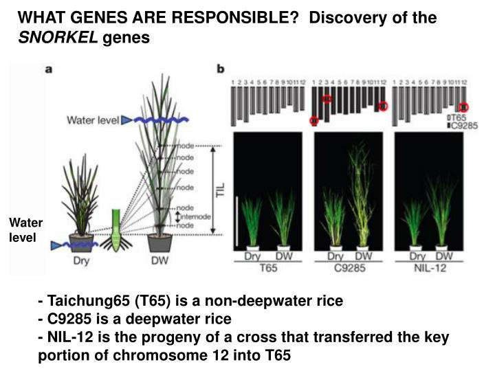 WHAT GENES ARE RESPONSIBLE?  Discovery of the