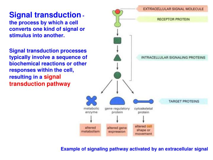 Example of signaling pathway activated by an extracellular signal