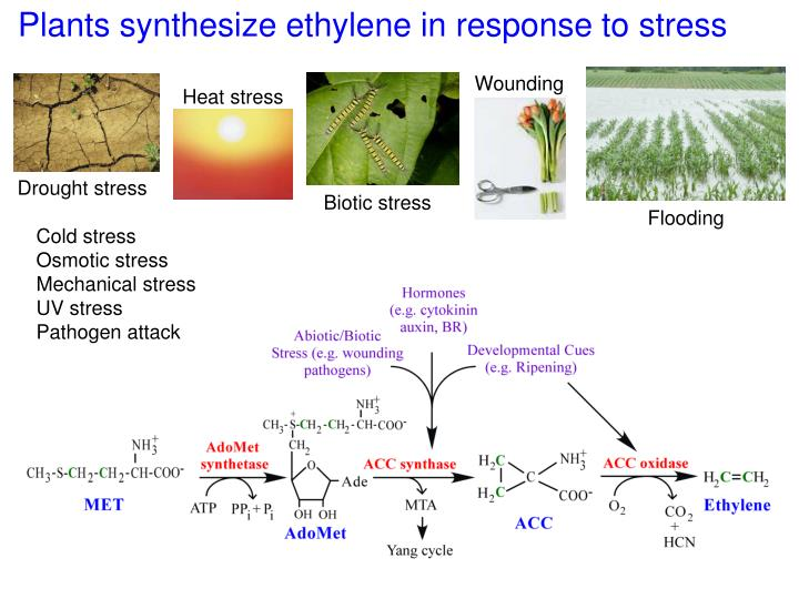 Plants synthesize ethylene in response to stress