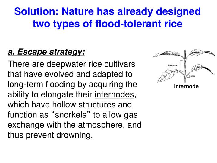 Solution: Nature has already designed two types of flood-tolerant rice