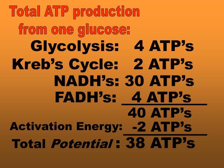 FADH's:   4 ATP's