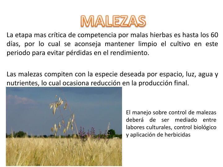MALEZAS