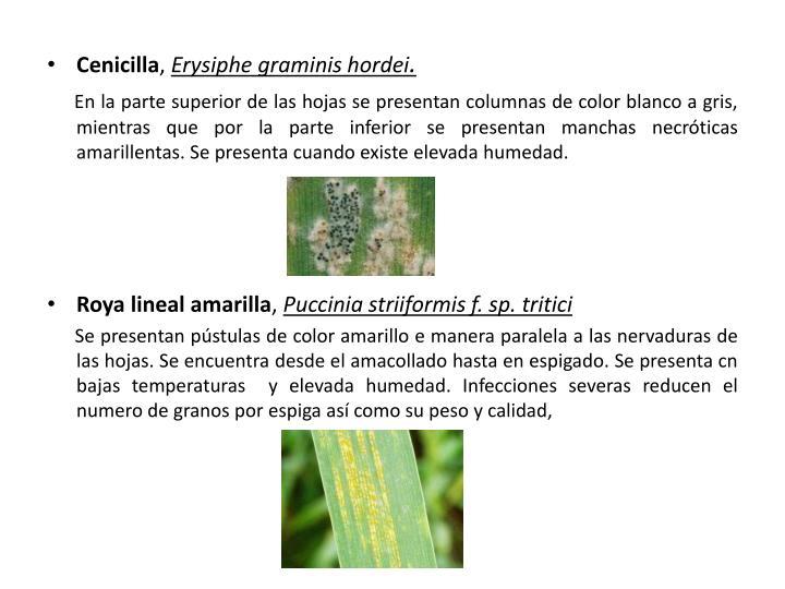 Cenicilla