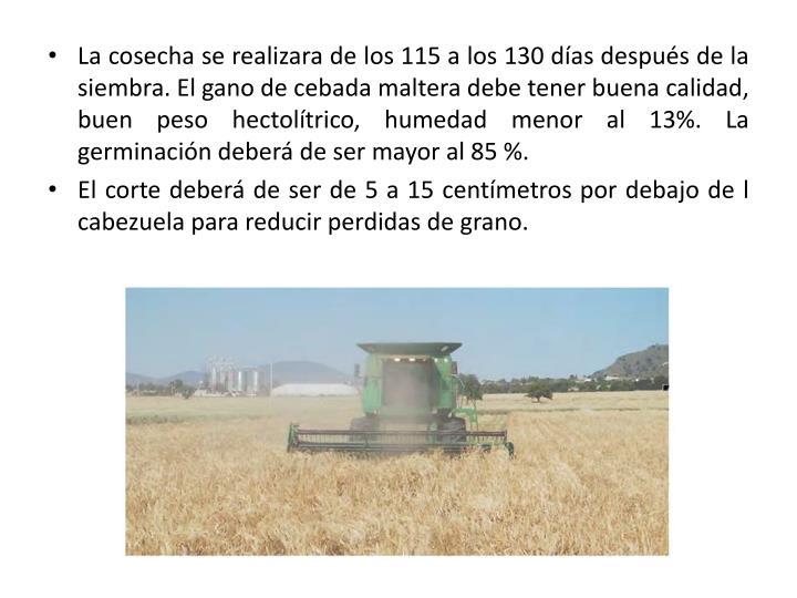 La cosecha se realizara de los 115 a los 130 días después de la siembra. El gano de cebada maltera debe tener buena calidad, buen peso hectolítrico, humedad menor al 13%. La germinación deberá de ser mayor al 85 %.