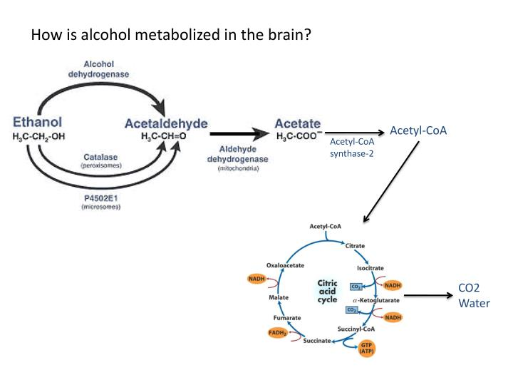 How is alcohol metabolized in the brain?