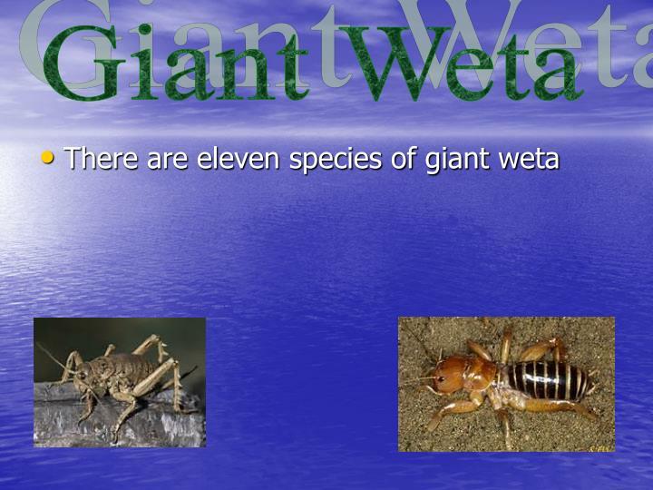 Giant Weta