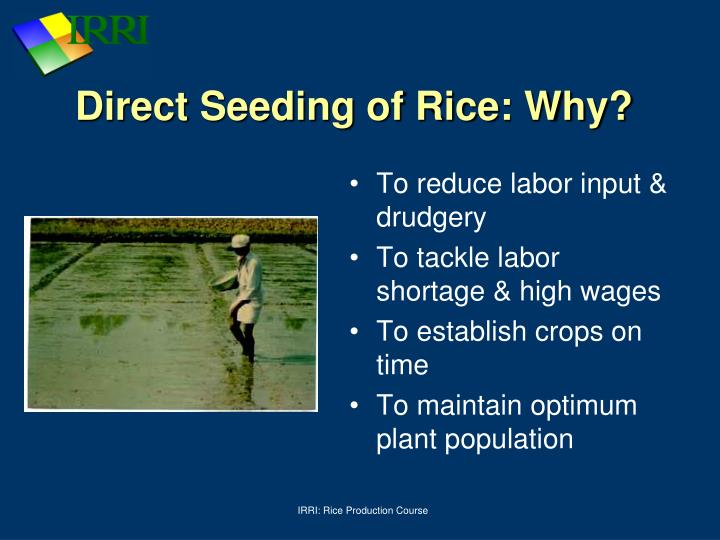 Direct Seeding of Rice: Why?