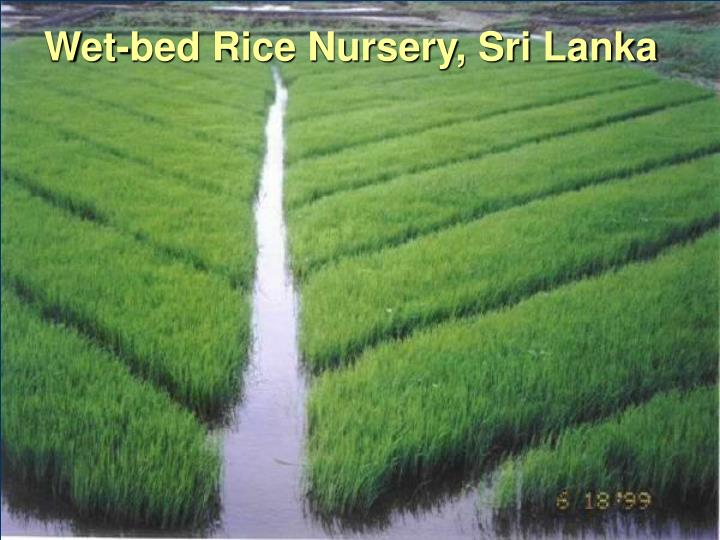 Wet-bed Rice Nursery, Sri Lanka