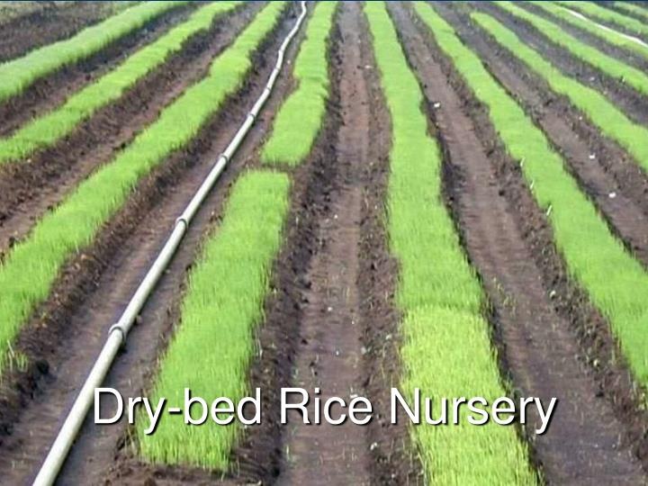 Dry-bed Rice Nursery