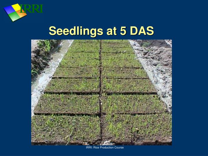 Seedlings at 5 DAS