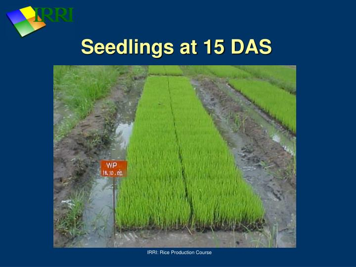 Seedlings at 15 DAS
