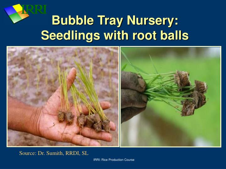 Bubble Tray Nursery: Seedlings with root balls