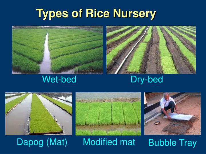 Types of Rice Nursery