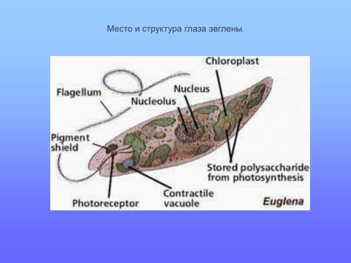 Место и структура глаза эвглены
