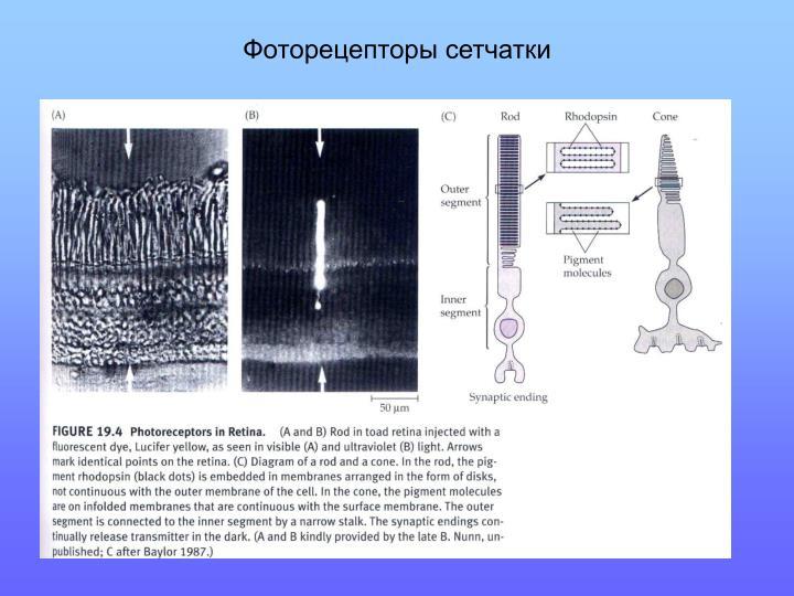 Фоторецепторы сетчатки