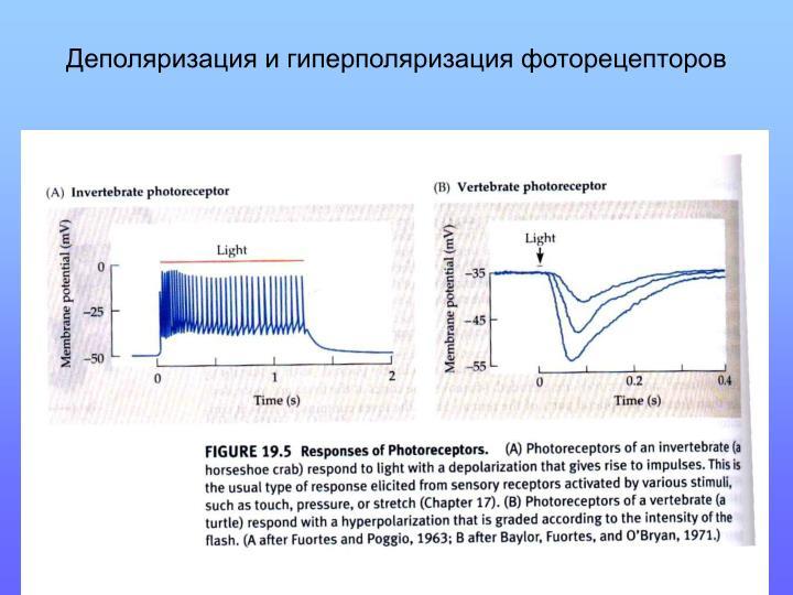 Деполяризация и гиперполяризация фоторецепторов