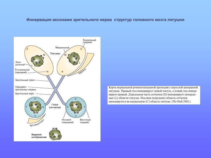 Иннервация аксонами зрительного нерва  структур головного мозга лягушки