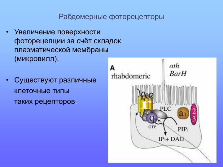 Рабдомерные фоторецепторы
