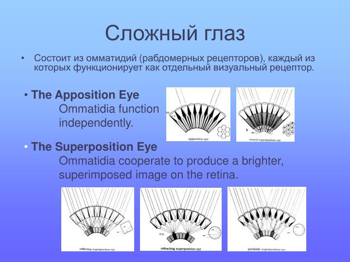Сложный глаз