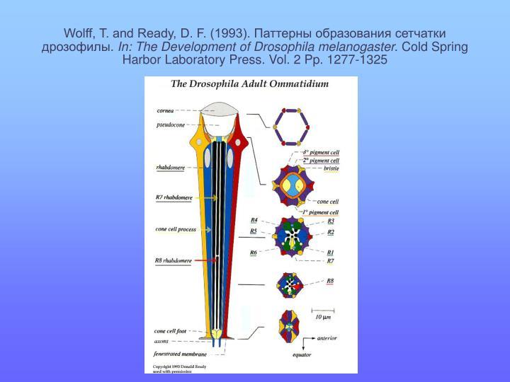 Wolff, T. and Ready, D. F. (1993). Паттерны образования сетчатки дрозофилы
