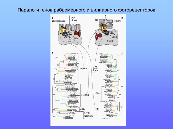 Паралоги генов рабдомерного и цилиарного фоторецепторов