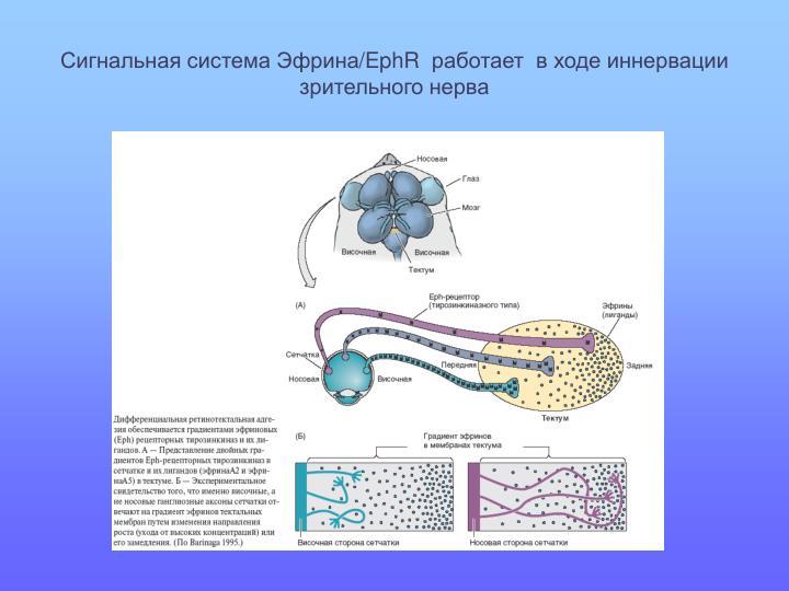 Сигнальная система Эфрина