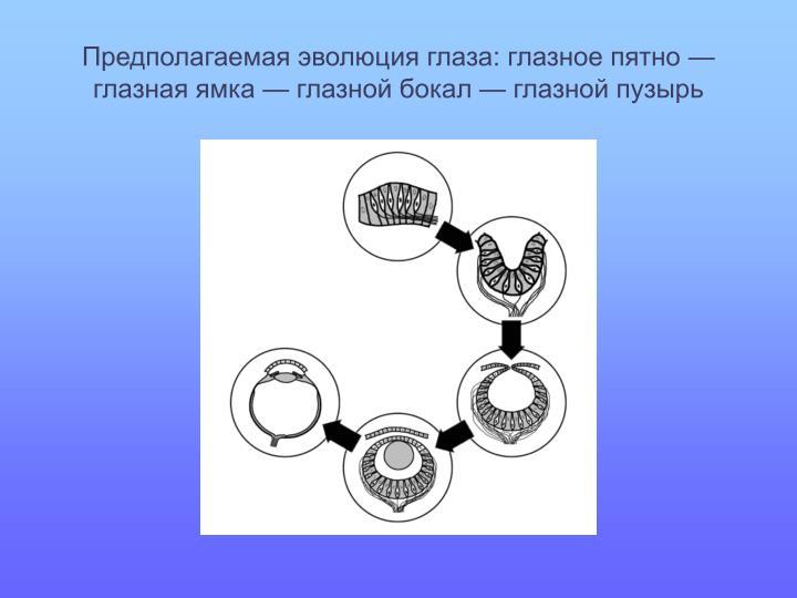 Предполагаемая эволюция глаза: глазное пятно— глазная ямка— глазной бокал— глазной пузырь