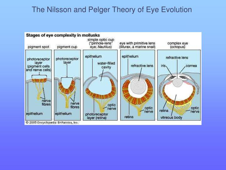 The Nilsson and Pelger Theory of Eye Evolution