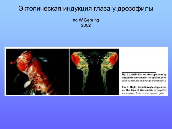 Эктопическая индукция глаза у дрозофилы