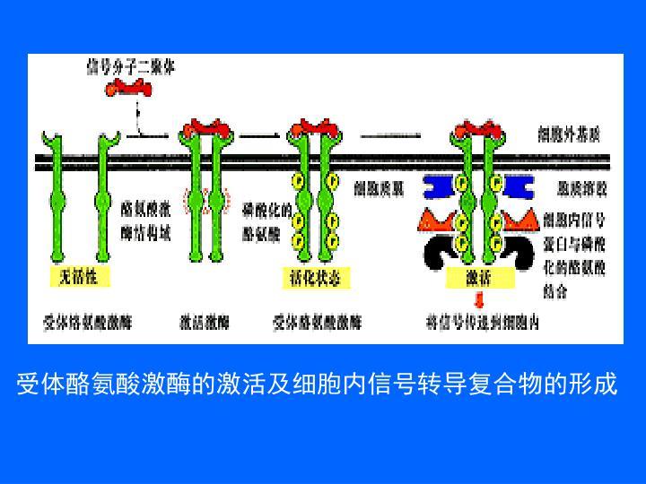 受体酪氨酸激酶的激活及细胞内信号转导复合物的形成
