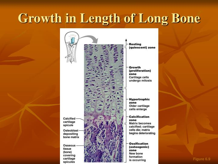 Growth in Length of Long Bone