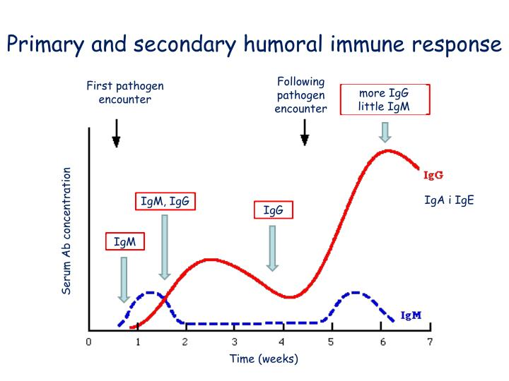 Primary and secondary humoral immune response