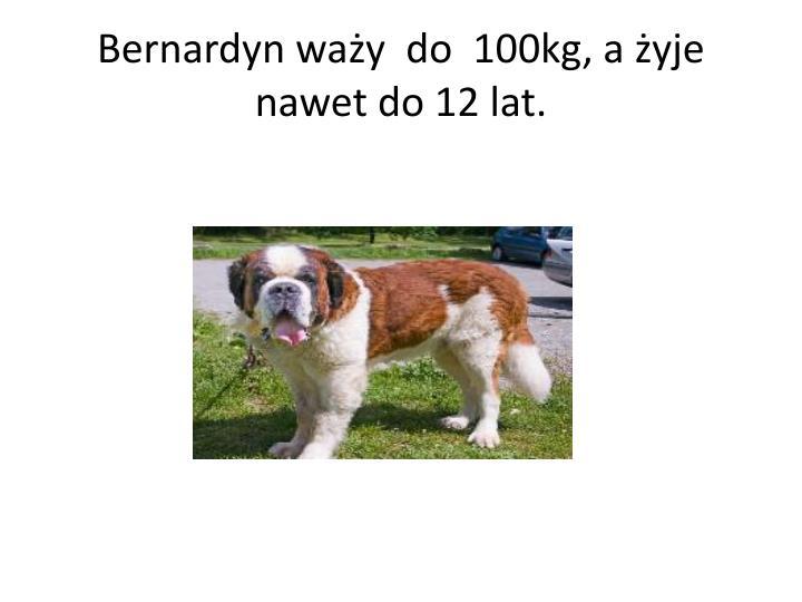 Bernardyn waży  do  100kg, a