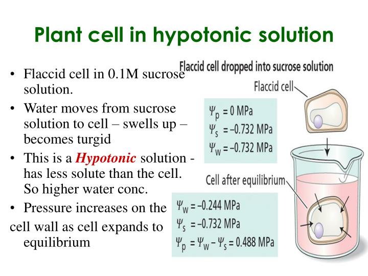 Plant cell in hypotonic solution