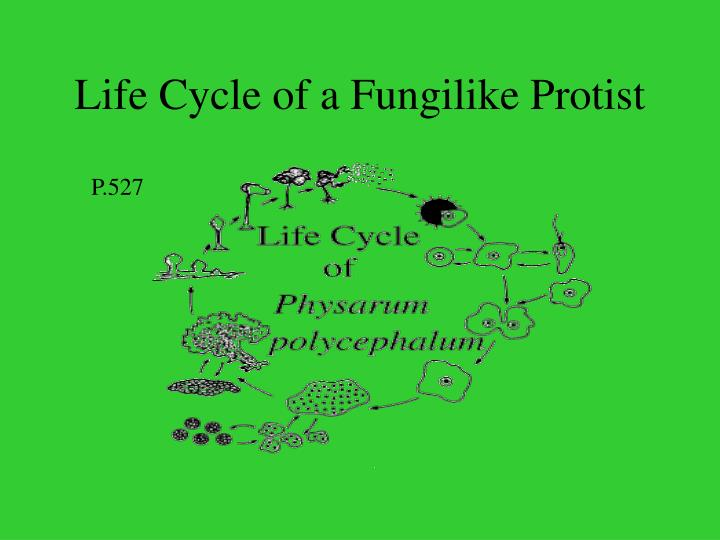 Life Cycle of a Fungilike Protist