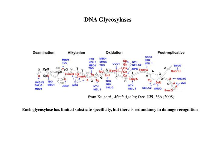 DNA Glycosylases