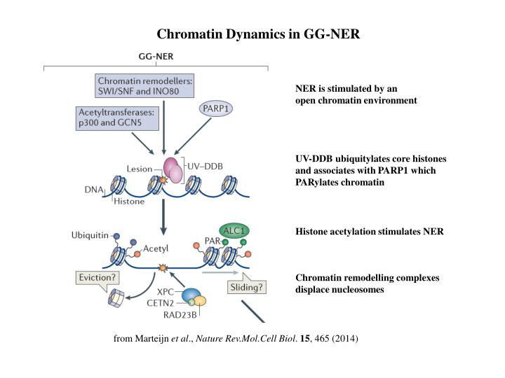 Chromatin Dynamics in GG-NER