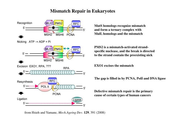 Mismatch Repair in Eukaryotes