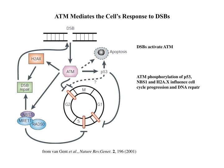 ATM Mediates the Cell's Response to DSBs
