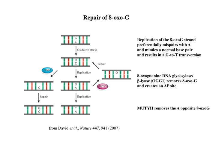 Repair of 8-oxo-G