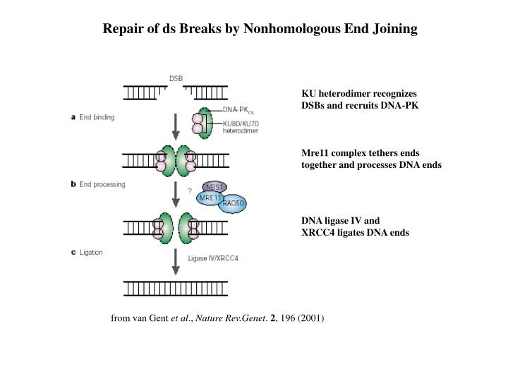 Repair of ds Breaks by Nonhomologous End Joining