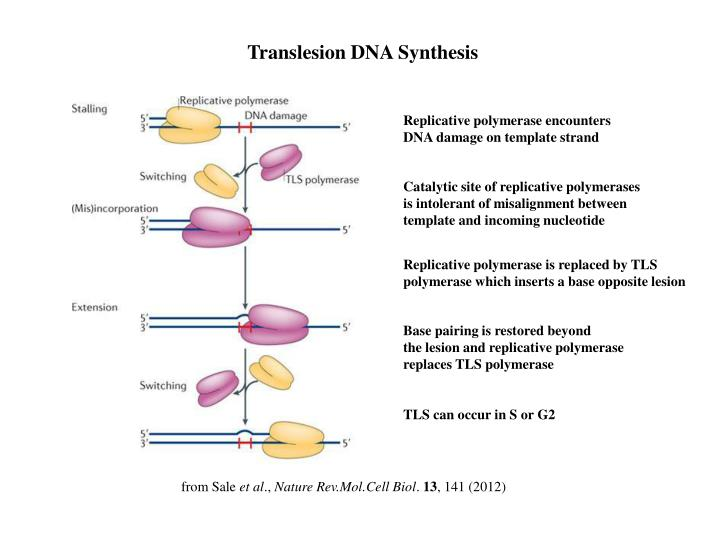 Translesion DNA Synthesis