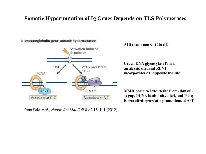 Somatic Hypermutation of Ig Genes Depends on TLS Polymerases