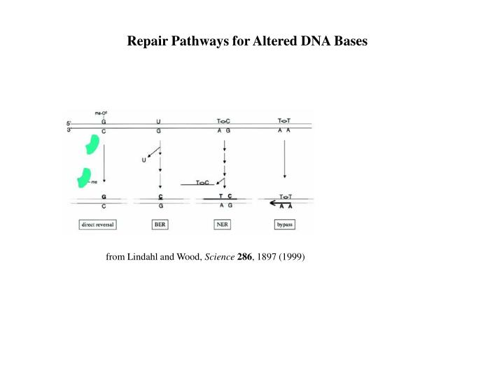 Repair Pathways for Altered DNA Bases