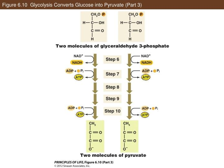 Figure 6.10  Glycolysis Converts Glucose into Pyruvate (Part 3)