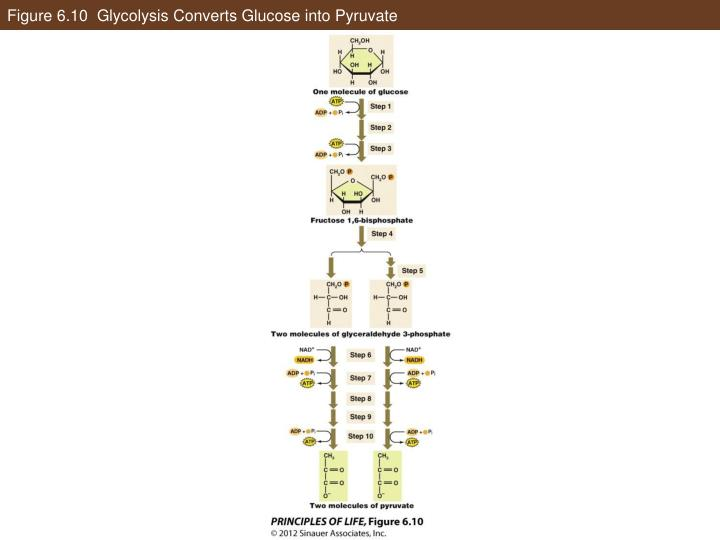 Figure 6.10  Glycolysis Converts Glucose into Pyruvate