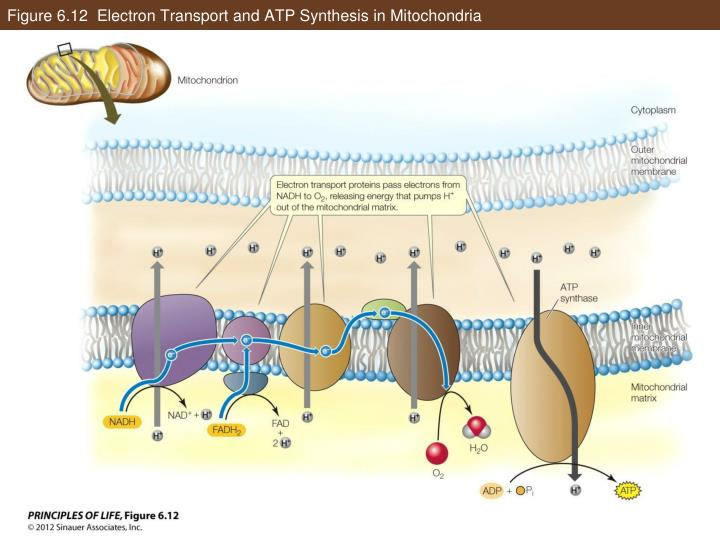 Figure 6.12  Electron Transport and ATP Synthesis in Mitochondria