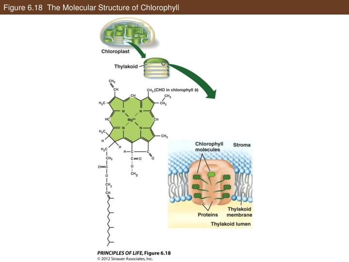 Figure 6.18  The Molecular Structure of Chlorophyll