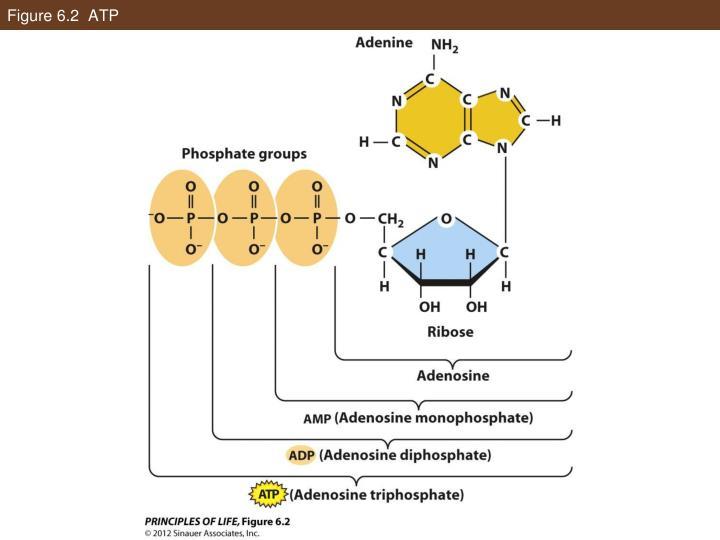 Figure 6.2  ATP