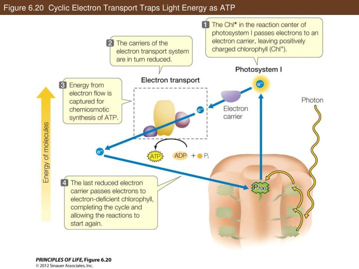 Figure 6.20  Cyclic Electron Transport Traps Light Energy as ATP